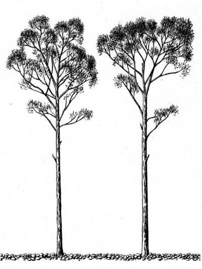 Tall Trees Drawing Drawing From Kolesnikov 1937