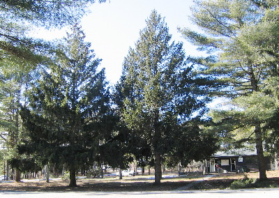 Spruces planted at headquarters. Myles Standish State Forest, Carver