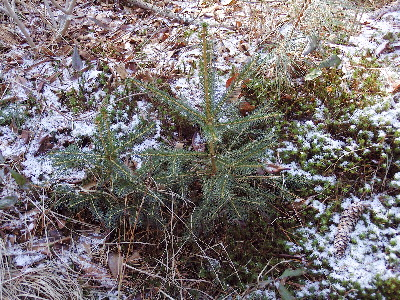 Young spruce saplings near old plantation. Myles Standish State Forest, Carver