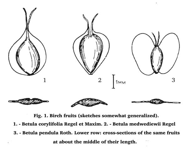 Fig. 1. Birch fruits (sketches somewhat generalized). 1. - Betula corylifolia Regel et Maxim. 2. - Betula medwediewii Regel 3. - Betula pendula Roth. Lower row: cross-sections of the same fruits at about the middle of their length.