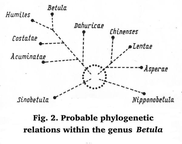 Fig. 2. Probable phylogenetic  relations within the genus Betula